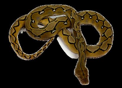Sunfire Reticulated Python