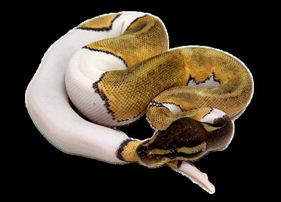 Mojave Pied Ball Python