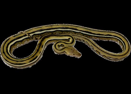 Super Tiger Reticulated Python