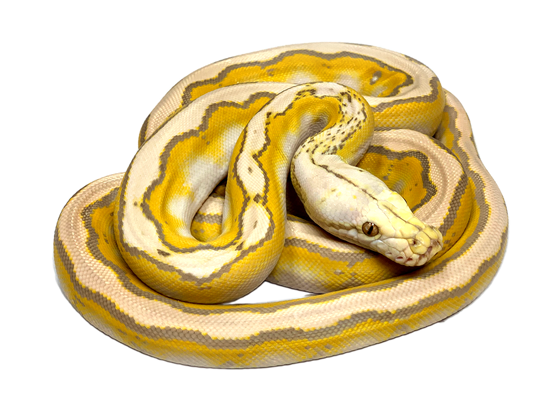 Picture of Male Motley Sunfire Purple Albino Reticulated Python