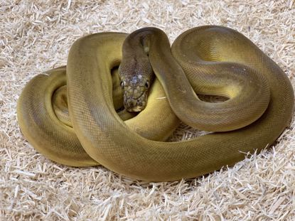 Picture of Male Phantom Goldenchild Sunfire Het Albino Reticulated Python