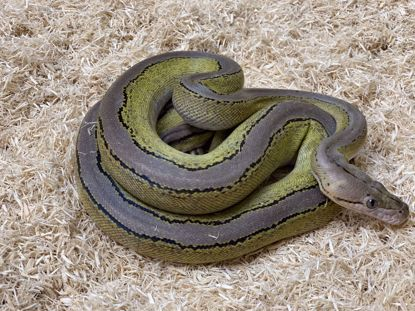 Picture of Female Sunfire Platinum Motley Reticulated Python