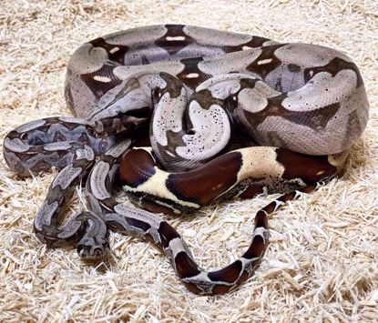 Picture of Pure Guyana Red Tail Boa Maker Pair