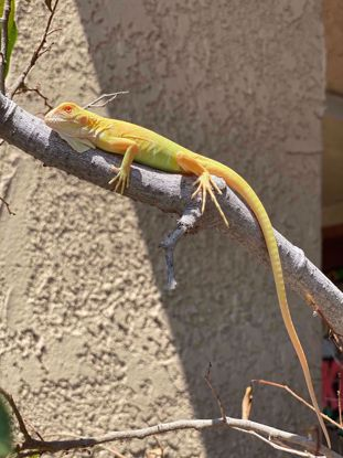 Picture of Albino Green Iguana