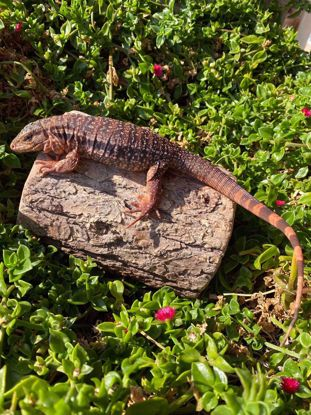 Picture of Juvenile Red Tegu