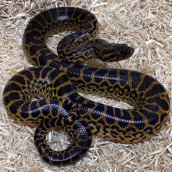 Picture of Yellow Anaconda