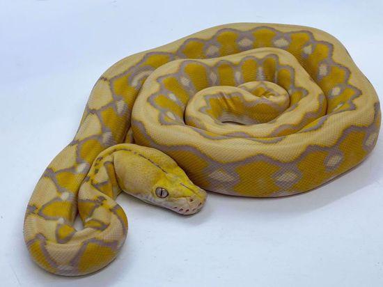 Picture of Lavender Sunfire Het Genetic Stripe Male