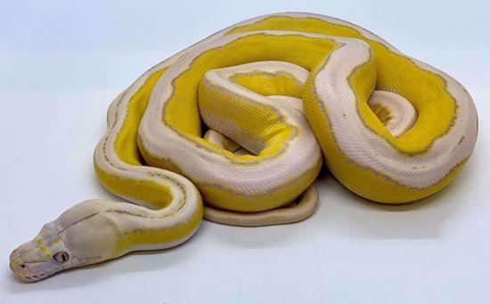 Picture of Purple Albino Platinum Motley Tiger Male